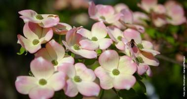 Pflanztipp-Blumenhartriegel