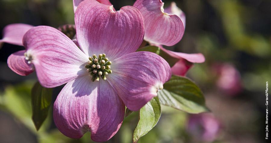 Pflanztipp-Blumenhartriegel_2