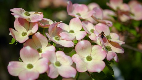 Pflanztipp: Der Blumenhartriegel