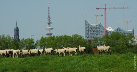 SCHNACKFRISCH! – Schafe Aussicht