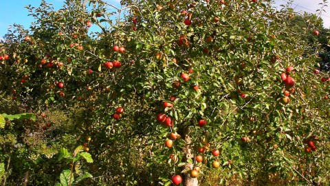 Alte Apfelsorten, neue Freuden
