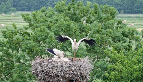 Webcam: Der Storch ist los!