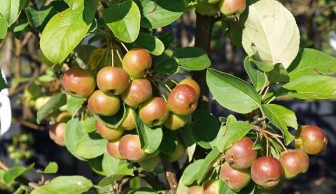 Obst für kleine Gärten